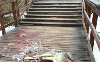 «Рвали косулю на глазах туристов»: на «Столбах» рассказали о девятой жертве бродячих собак за месяц
