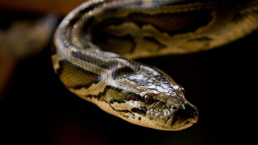 Две огромные змеи приползли в квартиру саратовчанки по трубам — видео