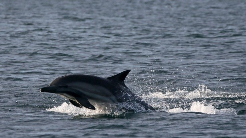 На Фарерских островах убили более 1500 дельфинов