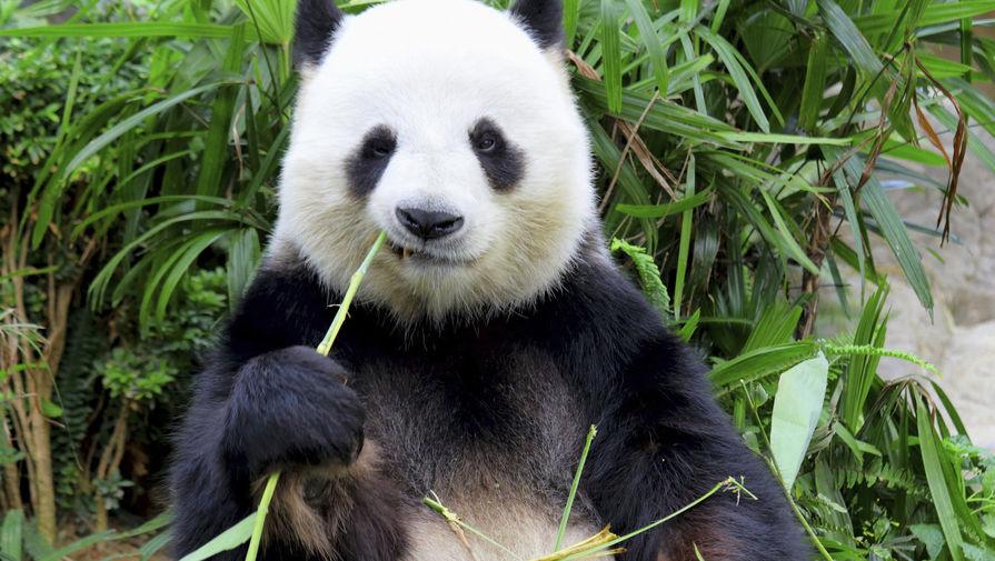 Беременность панды вызвала рост акций японских ресторанов
