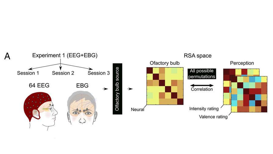 Биологи выяснили, на какие запахи человек реагирует быстрее всего