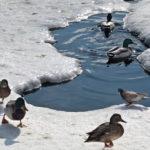 Невинномысские спасатели приходят на помощь уткам